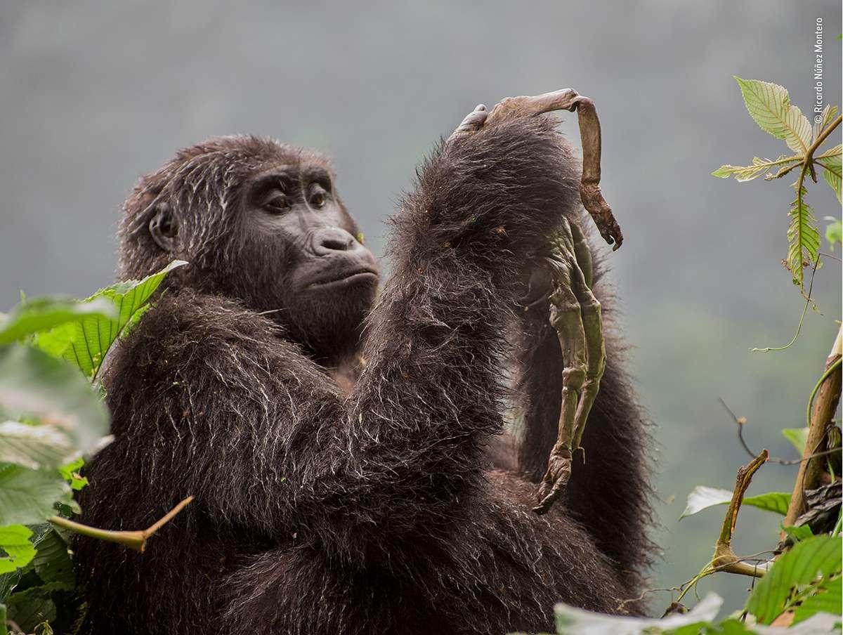 Στην κατηγορία «Συμπεριφορά Θηλαστικών» το βραβείο κέρδισε ο ισπανός φωτογράφος Ρικάρντο Νούνιεζ Μορέντο. Η Kuhirwa είναι ένας θηλυκός ορεσίβιος γορίλας που ζει σε δάσος της Ουγκάντας. Στη φωτογραφία η Kuhirwa μοιάζει να κρατάει μια ρίζα ή κάποιο φυτό. Στην πραγματικότητα κρατάει το σώμα του νεογέννητου παιδιού της και θρηνεί για τον θάνατό του που οφείλεται κατά πάσα πιθανότητα στις απρόσμενα χαμηλές θερμοκρασίες που επικρατούσαν στην περιοχή όταν γέννησε