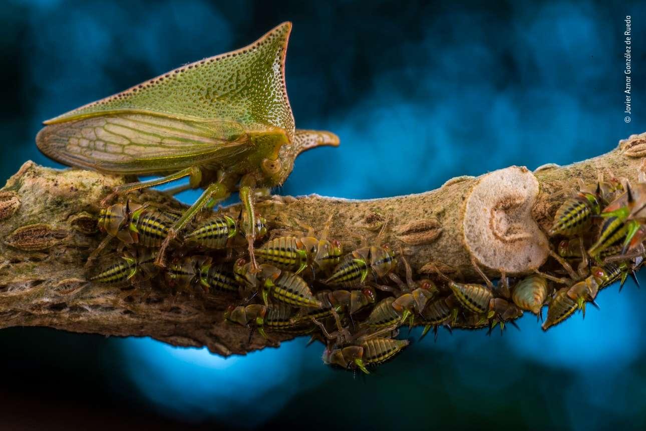 Η φωτογραφία με τίτλο «Μητέρα προστάτις» του Ισπανού Χαβιέ Αθνάρ Γκονζάλεζ ντε Ρουέντα κέρδισε το βραβείο Wildlife Photographer Portfolio. O φωτογράφος κατέγραψε σε προστατευόμενη περιοχή υψηλής βιοποικιλότητας του Ισημερινού ένα θηλυκό treehopper (έντομο της οικογένειας των μεμβρακιδών που μοιάζει με τα τζιτζίκια) να προστατεύει την οικογένειά του. Η μητέρα επιτηρεί τις νύμφες ενώ τρέφονται πάνω στο κλαδί ενός αγγειόσπερμου φυτού της οικογένειας των σολανιδών