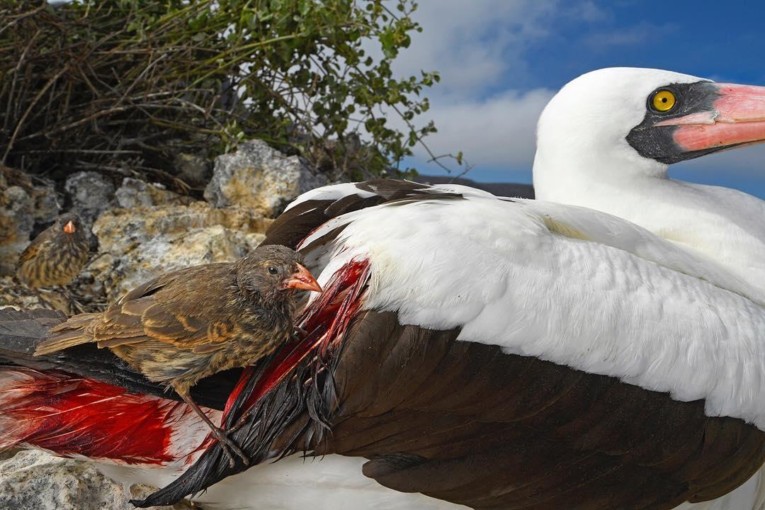 Η φωτογραφία «Δίψα για αίμα» του Τόμας Πέσκακ με καταγωγή από τη Γερμανία και τη Νότιο Αφρική κέρδισε το πρώτο βραβείο στην κατηγορία «Συμπεριφορά Πτηνών». Η φωτογραφία τραβήχτηκε στο νησί Γουλφ στο σύμπλεγμα των Γκαλαπάγκος και δείχνει ένα είδος σπίνου ενώ προσπαθεί να πιει το αίμα από το ένα θαλασσοπούλι (Nazca Booby) για να τραφεί. Οι σπίνοι τρέφονται με καρπούς και έντομα αλλά για να επιβιώσουν έχουν βρει έναν τρόπο να ρουφάνε το αίμα από θαλασσοπούλια χωρίς να τους προκαλούν κάποια σοβαρή ή μόνιμη ζημιά