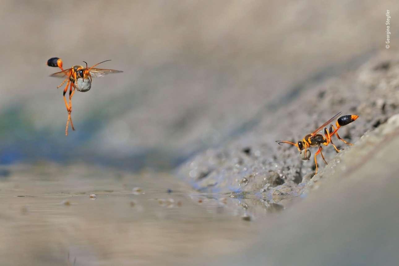 Η Τζορτζίνα Στέιτλερ πήγε στο Φυσικό Δρυμό Walyormouring στη Δυτική Αυστραλία με στόχο να φωτογραφίσει τις σφήκες του είδους Sceliphron caementarium να φτιάχνουν τις φωλιές τους. Οι σφήκες αυτές είναι ευρύτερα γνωστές με τον όρο «σφήκες λάσπης» επειδή σκάβουν το έδαφος για να βρουν λάσπη και στη συνέχεια φτιάχνουν με αυτή μικροσκοπικούς σβόλους για να δημιουργήσουν στις φωλιές τους θαλάμους για τα αβγά τους. Για να πετύχει αυτή τη σκηνή η οποία κέρδισε το βραβείο «Συμπεριφορά Ασπόνδυλων» η Στέιτλερ έκανε εκατοντάδες απόπειρες