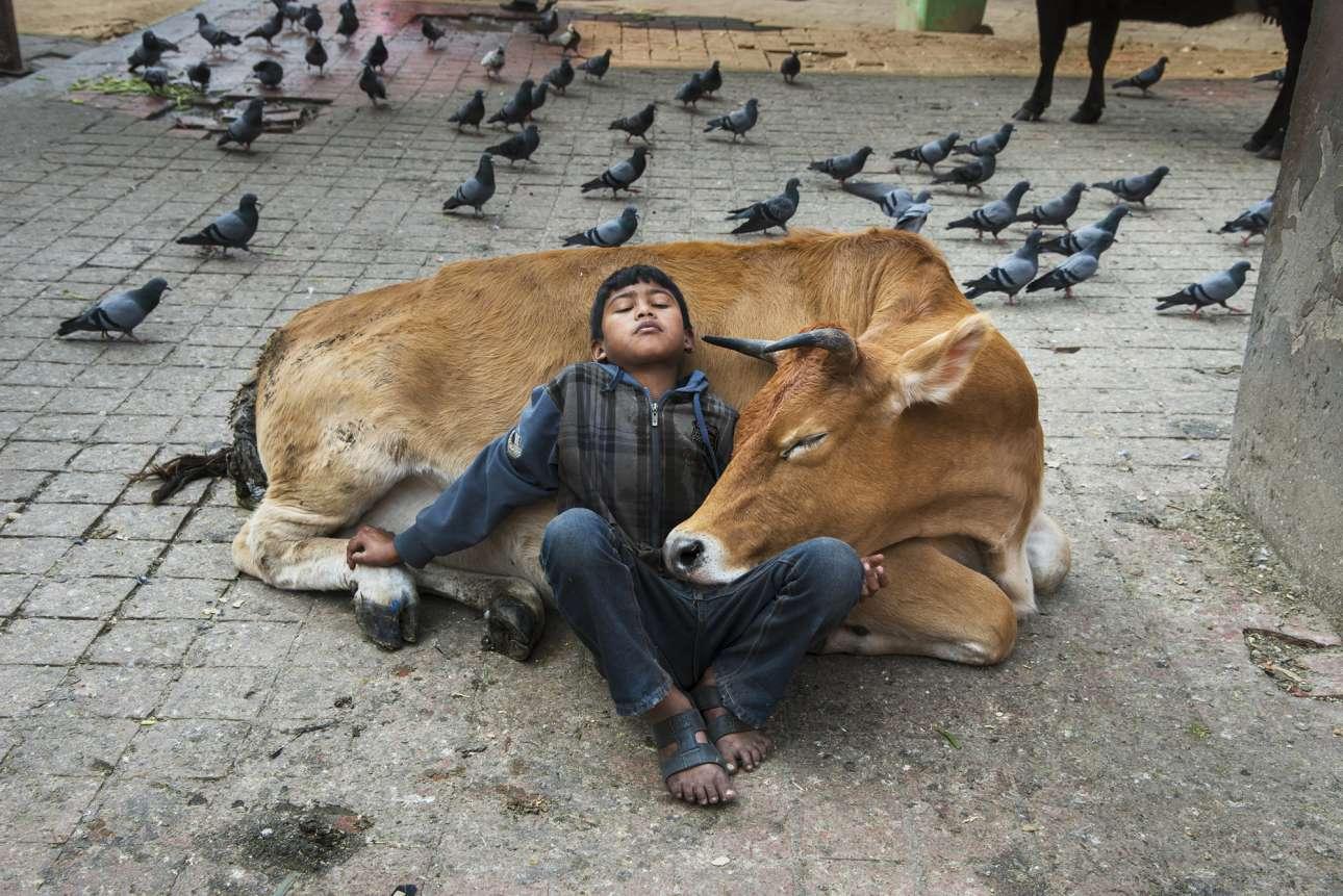 Αγόρι ξαποσταίνει στην αγκαλιά μιας αγελάδας, στο Νεπάλ το 2013. Η αγελάδα είναι το εθνικό ζώο του Νεπάλ και κυκλοφορεί ελεύθερα στους δρόμους, ενώ θεωρείται ιερή από το 80% των Νεπαλέζων που είναι Ινδουιστές
