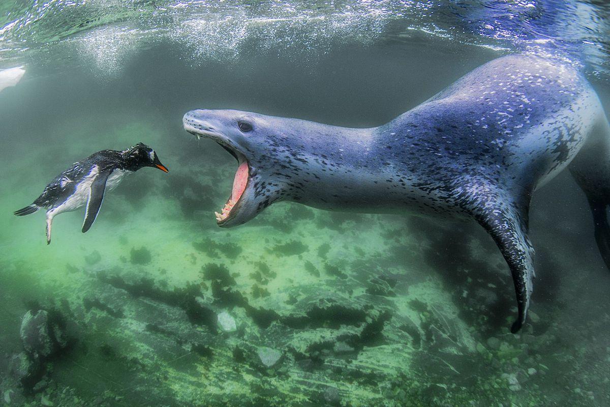 Βραβείο στην κατηγορία Ζώα στο Περιβάλλον τους. «Αντιμετωπίζοντας την Πραγματικότητα»: Μια φώκια - λεοπάρδαλη μόλις έχει πνίξει έναν πιγκουίνο και ετοιμάζεται να τον κατασπαράξει, στα νερά της Ανταρκτικής Χερσονήσου