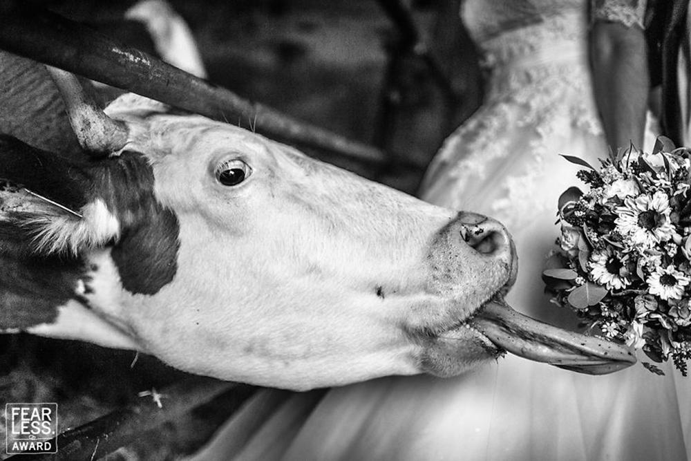 Η αγελάδα που βιάστηκε να πιάσει την ανθοδέσμη
