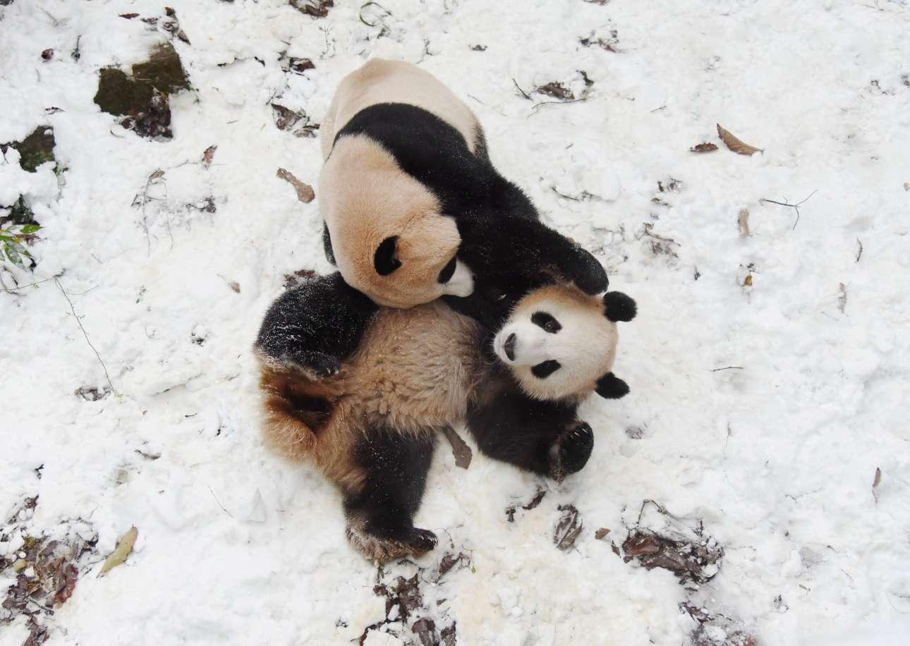 Δευτέρα, 10 Δεκεμβρίου, Κίνα. Δύο πάντα παίζουν με το χιόνι σε ζωολογικό κήπο της Χανγκτσόου
