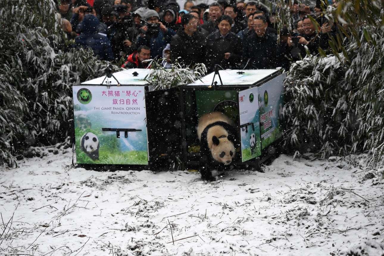 Πέμπτη, 27 Δεκεμβρίου, Κίνα. Κόσμος έχει συγκεντρωθεί για να αποχαιρετήσει το πάντα με το όνομα Xiao Hetao, ή, Μικρό Καρύδι, που απελευθερώνεται στον εθνικό δρυμό Longxi-Hongkou, στην επαρχία Σετσουάν