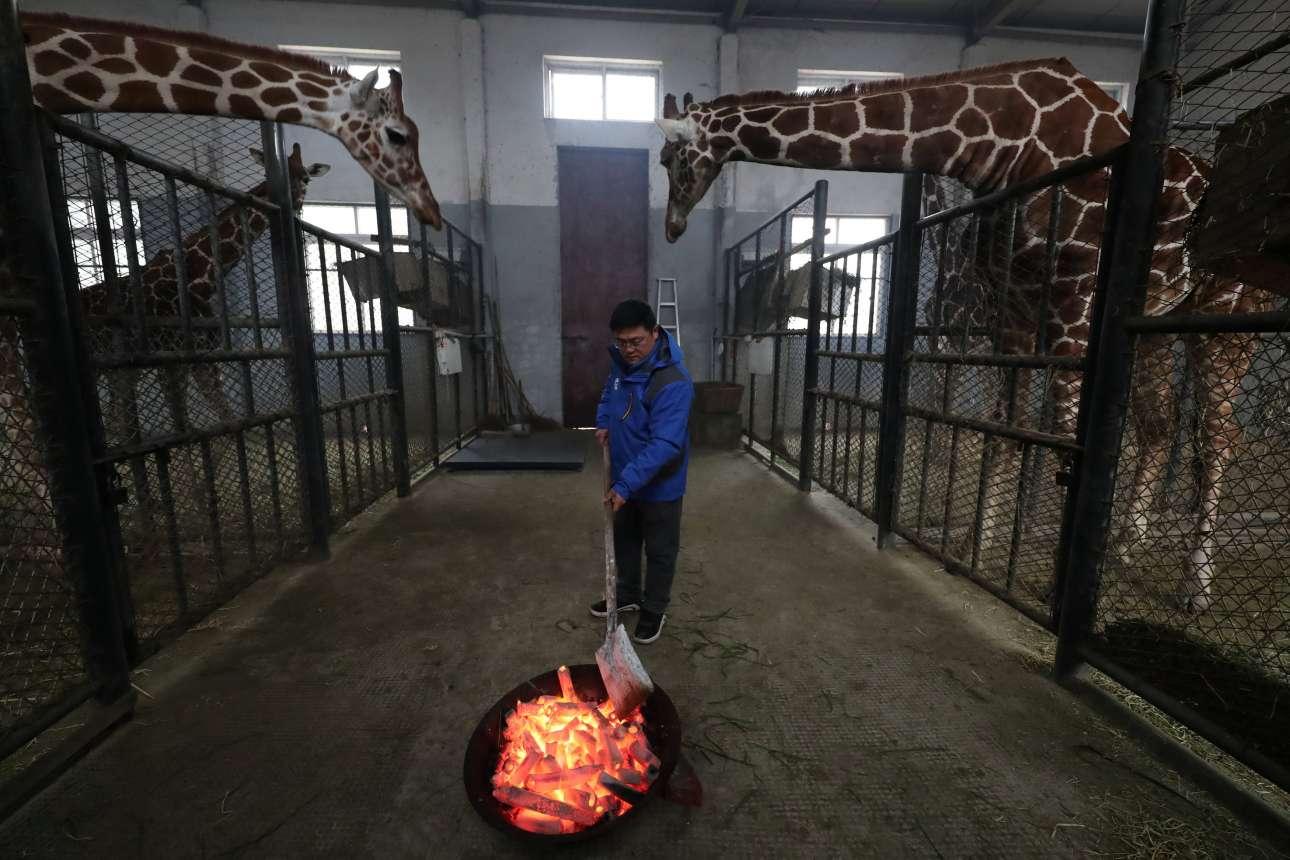 Παρασκευή, 28 Δεκεμβρίου, Κίνα. Εργαζόμενος στο ζωολογικό πάρκο στη Νινγκμπό ανάβει φωτιά για να ζεσταθούν οι καμηλοπαρδάλεις