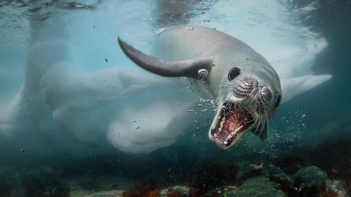 Μία περίεργη συνάντηση με μία φώκια στο νησί Κουβερβίλ της Ανταρκτικής