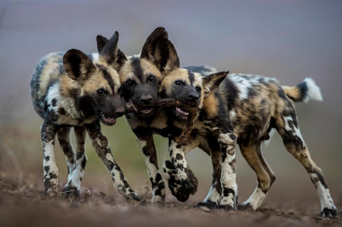 Παρόλο που τα ενήλικα αφρικανικά άγρια σκυλιά είναι πολύ επικίνδυνα και αδίστακτοι δολοφόνοι, τα κουτάβια είναι πολύ χαριτωμένα και παιχνιδιάρικα. Στη φωτογραφία, τρία αδέλφια παίζουν με το πόδι μίας αντιλόπης στη Νότια Αφρική