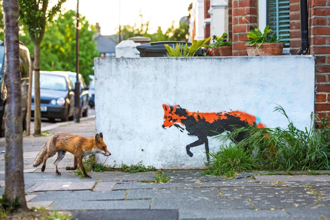 Για περισσότερο από έναν χρόνο, ο Μάθιου φωτογραφίζει αλεπούδες κοντά στο σπίτι του στο βόρειο Λονδίνο. Από τότε που εντόπισε το παραπάνω γκραφίτι ονειρευόταν να τραβήξει μία τέτοια εικόνα. Μετά από αμέτρητες ώρες και πολλές αποτυχημένες προσπάθειες η επιμονή του τελικά απέδωσε...