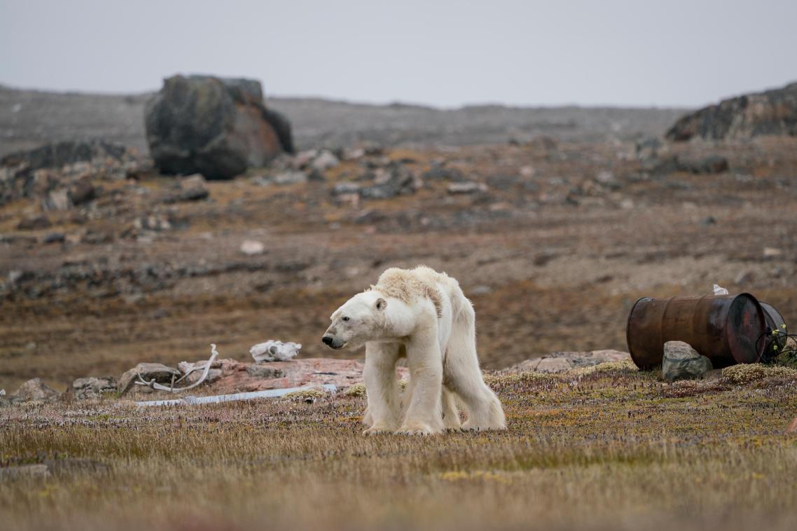 Σοκαριστική εικόνα από την καναδική Αρκτική: μία πολική αρκούδα λιμοκτονεί και μετά βίας στέκεται στα πόδια της, σε μία εγκαταλειμμένη βάση κυνηγών. Με ελάχιστο και αραιό πάγο για να μετακινηθεί, η αρκούδα δεν είναι σε θέση να ψάξει για φαγητό
