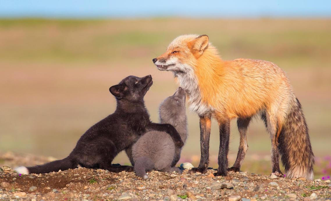 Κόκκινη, γκρι και μαύρη: μία πολύχρωμη οικογένεια αλεπούδων στην Πολιτεία της Ουάσινγκτον