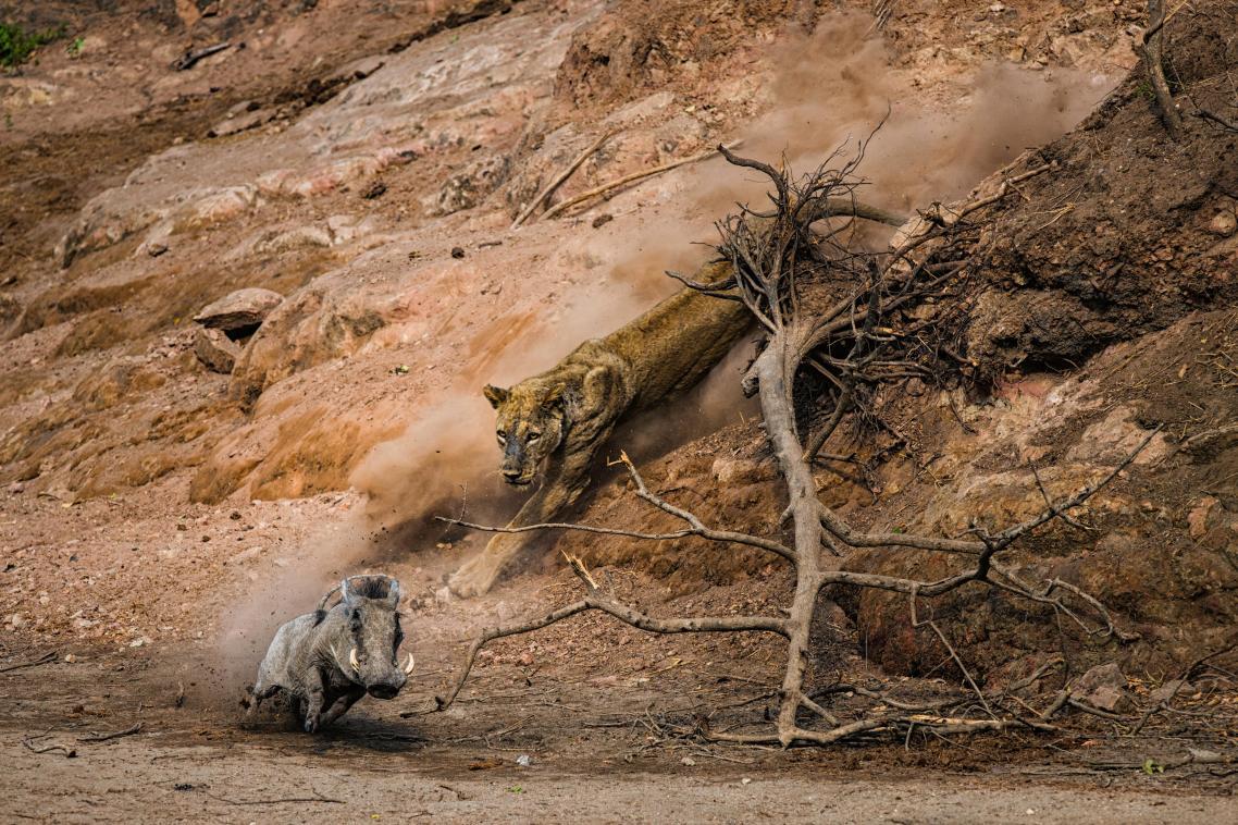 «Ενέδρα». Στο Εθνικό Πάρκο Mana Pools στη Ζιμπάμπουε μία λιονταρίνα που έχει στήσει ενέδρα ετοιμάζεται να επιτεθεί