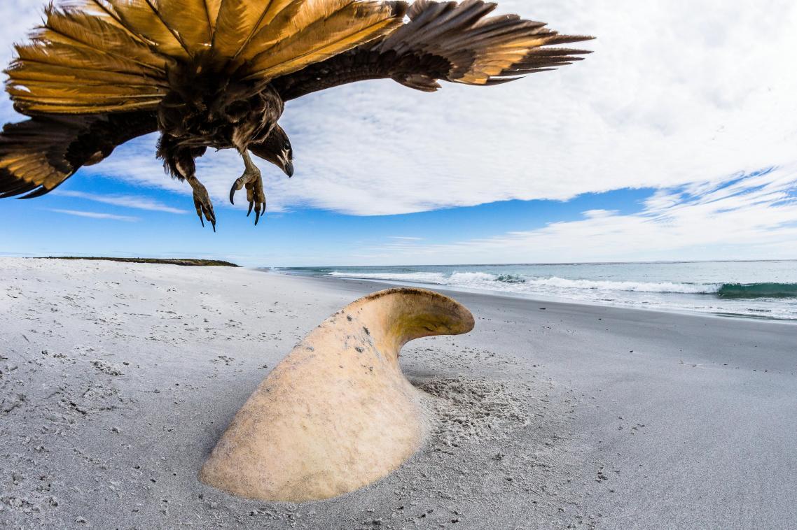 Το πτωματοφάγο αρπακτικό πτηνό striated caracara ετοιμάζεται να κατασπαράξει το ξεβρασμένο κουφάρι μίας αρσενικής όρκας, στην ακτή των νησιών Φόκλαντς