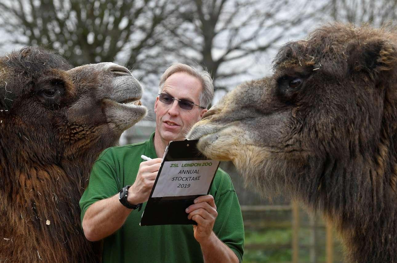 Πέμπτη, 3 Ιανουαρίου, Μεγάλη Βρετανία. Ενας άνδρας και δύο καμήλες στον ζωολογικό κήπο του Λονδίνου