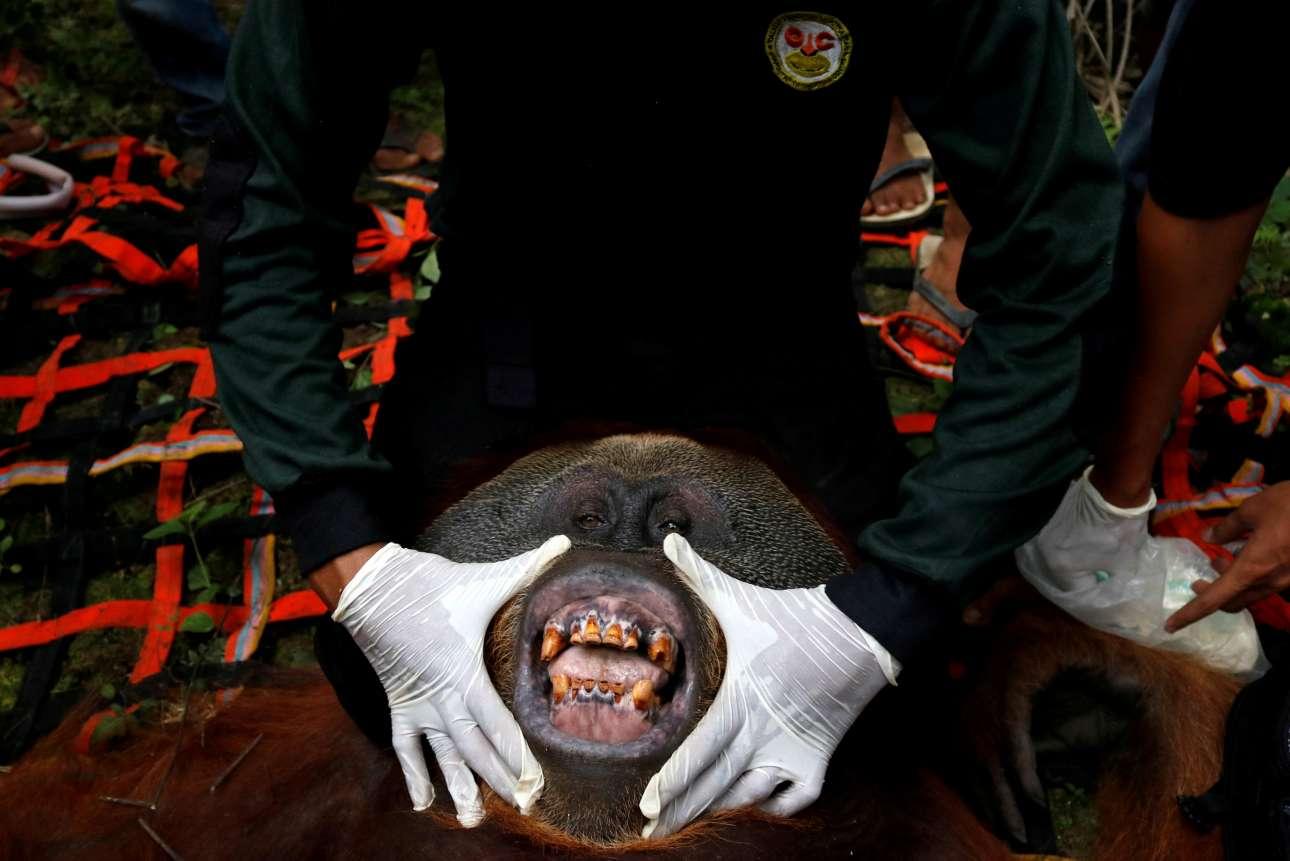 Τετάρτη, 16 Ιανουαρίου, Ινδονησία. Κτηνίατρος προσπαθεί να εξετάσει ένα ουρακοτάγκο της Σουμάτρα που διασώθηκε από φυτεία στην επαρχία Aτσεχ