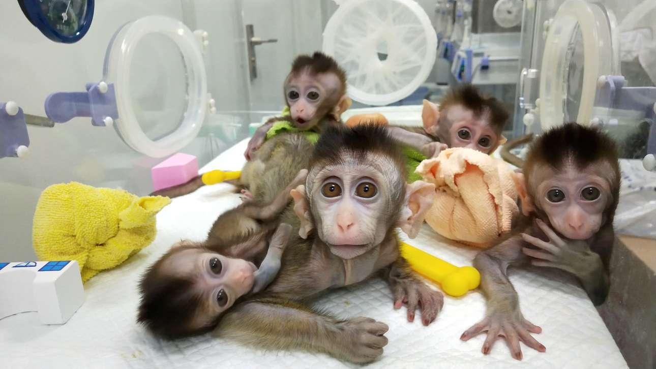 Πέμπτη, 24 Ιανουαρίου, Κίνα. Στην Κινεζική Ακαδημία Επιστημών της Σαγκάης δημιούργησαν πέντε μακάκους-κλώνους με διαταραχές στον κιρκαδιανό ρυθμό ώστε να συνεισφέρουν στην επιστημονική έρευνα για τις διαταραχές στον ύπνο, την κατάθλιψη και τη νόσο Αλτσχάιμερ