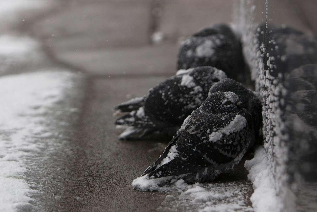 Περιστέρια προσπαθούν να ζεσταθούν κουρνιάζοντας το ένα δίπλα στο άλλο σε δρόμο του Μπάφαλο