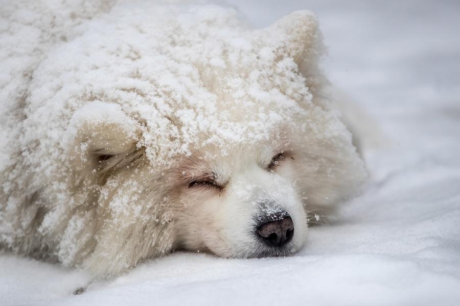 Διαγωνιζόμενος σκύλος παίρνει έναν μικρό υπνάκο μέσα στο χιόνι, πριν από τις ελκηθροδρομίες