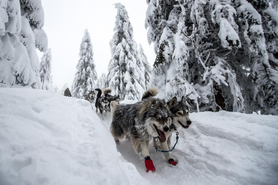 Ο αγώνας Šediváčkuv διεξάγεται μέσα στα παγωμένα βουνά Ορλίκ, κοντά στα σύνορα μεταξύ Τσεχίας και Πολωνίας. Πριν τρία χρόνια οι αγώνες είχαν ακυρωθεί λόγω ζέστης, σε αντίθεση με εφέτος που οι διαγωνιζόμενοι ήρθαν αντιμέτωποι με πολύ δύσκολες καιρικές συνθήκες
