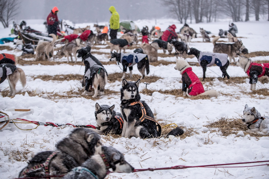 Τα σκυλιά περιμένουν την έναρξη του αγώνα, μετά τη διανυκτέρευση τους στον καταυλισμό