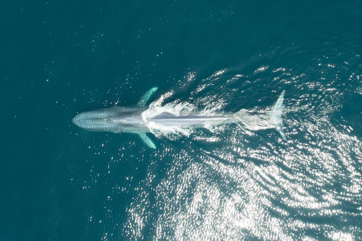 Μία γαλάζια φάλαινα κάνει την εμφάνισή της στην επιφάνεια της θάλασσας, λίγο πριν εξαφανιστεί στον Ειρηνικό