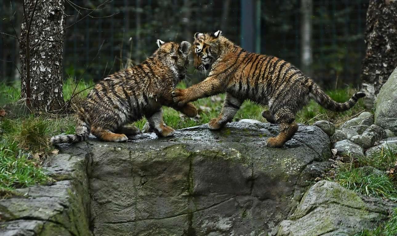 Δευτέρα, 28 Ιανουαρίου, Ιρλανδία. Μικρές τίγρεις της Σιβηρίας παίζουν στον ζωολογικό κήπο του Δουβλίνου