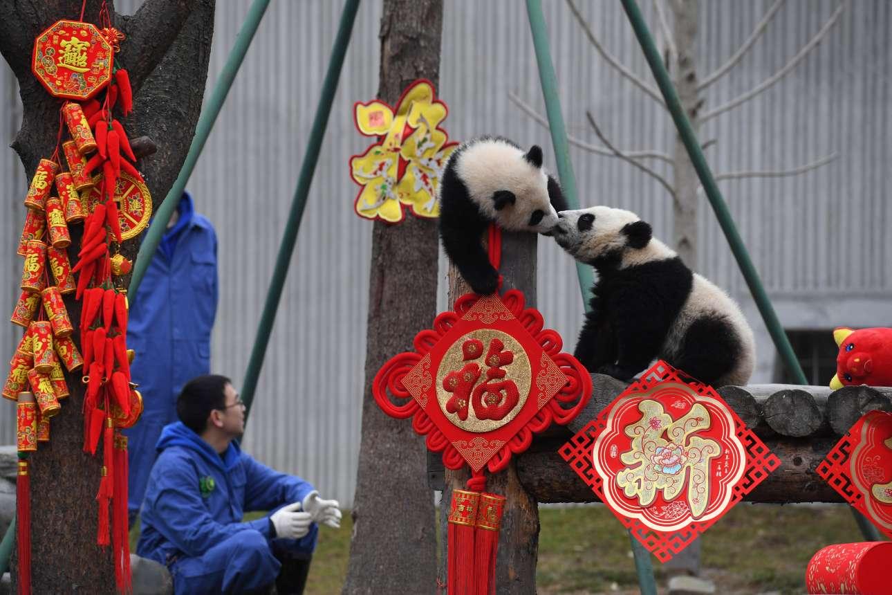 Πέμπτη, 31 Ιανουαρίου, Κίνα. Δύο πάντα παίζουν στο καταφύγιο Shenshuping, στην επαρχία Σετσουάν της Κίνας, κατά τη διάρκεια εκδήλωσης για τον εορτασμό της κινέζικης Πρωτοχρονιάς.