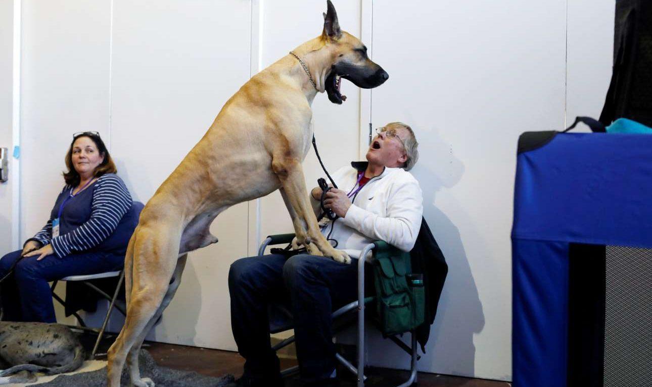 Δευτέρα, 11 Φεβρουαρίου, ΗΠΑ. Γερμανικός Μολοσσός παίζει με το αφεντικό του λίγο πριν την επίσημη έναρξη του ετήσιου σόου σκύλων του Westminster Kennel Club στη Νέα Υόρκη