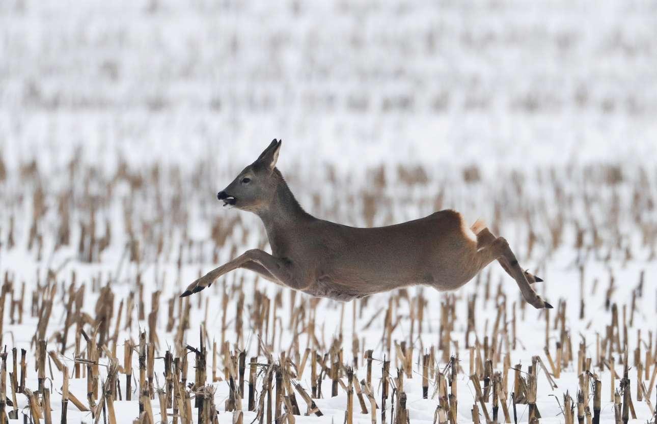 Δευτέρα, 11 Φεβρουαρίου, Λευκορωσία. Ελάφι τρέχει σε αγρό του Γκοροντίσκε