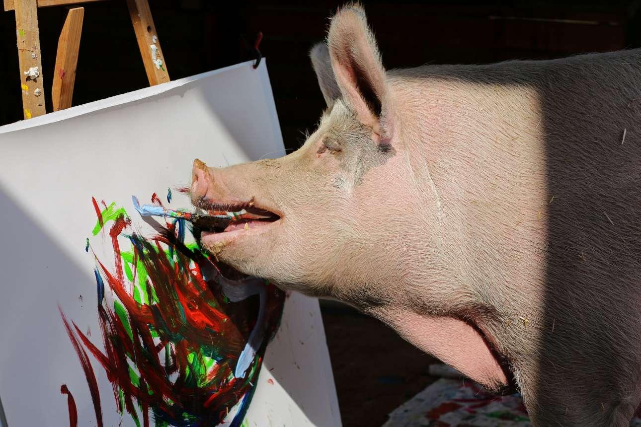 Παρασκευή, 22 Φεβρουαρίου, Νότια Αφρική. Αυτό είναι ο «Pigcasso», ένα γουρούνι που διασώθηκε έξω από το Κέιπ Τάουν και ζωγραφίζει με το στόμα