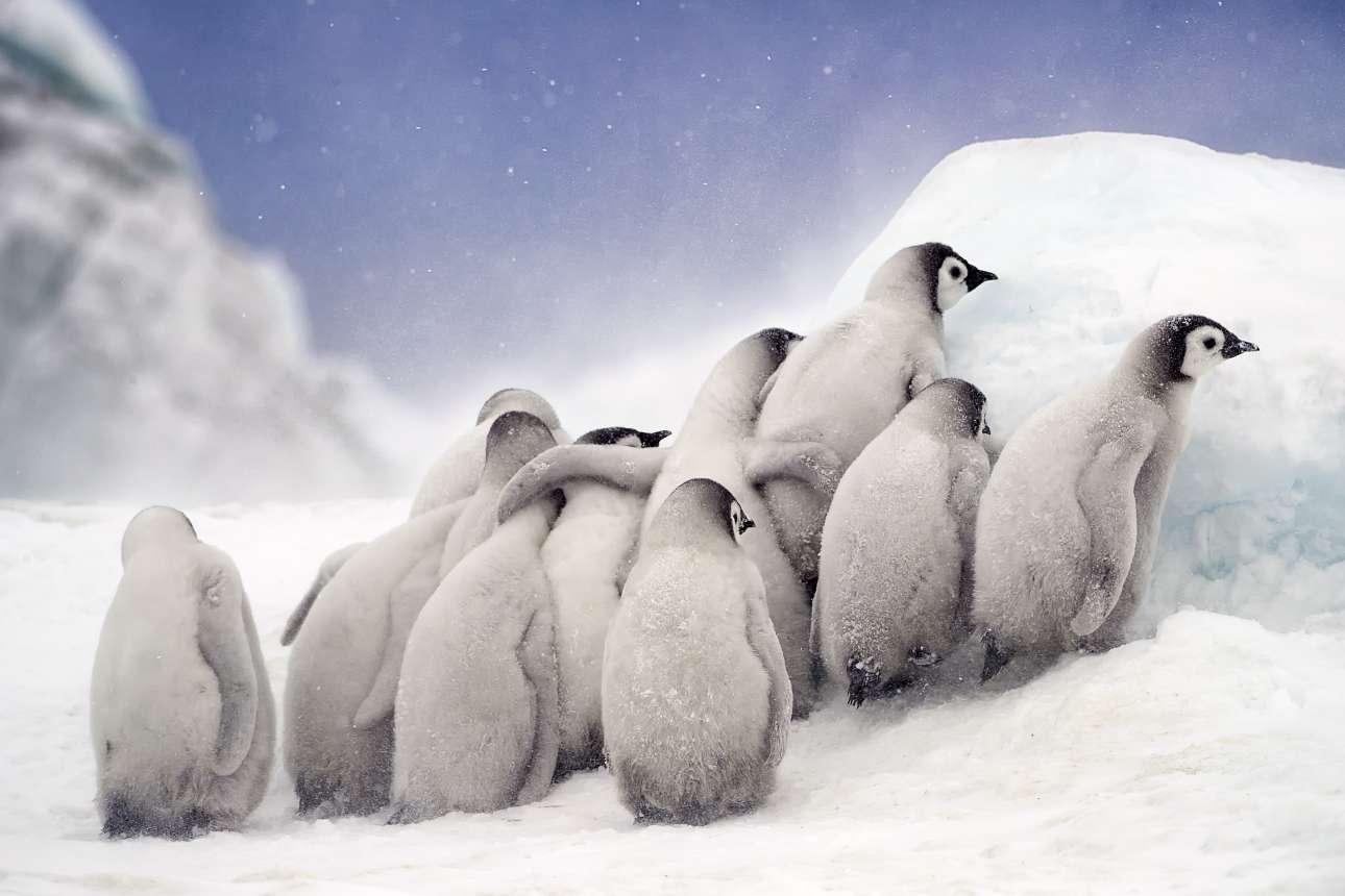 «Συνάθροιση». Στην παγωμένη Ανταρκτική, μία παρέα μωρών πιγκουίνων περιμένει αγκαλιασμένη τους γονείς τους να τους φέρουν φαγητό από τη θάλασσα