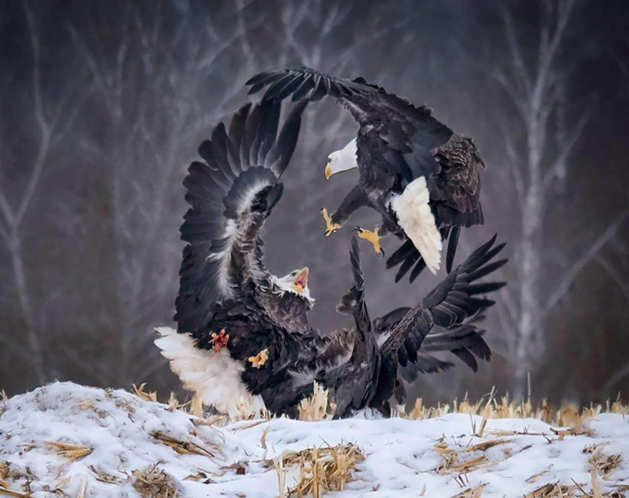 «Ο Κύκλος της Δύναμης». Τρεις αετοί σχηματίζουν έναν κύκλο καθώς μαλώνουν για το γεύμα τους στο Σέφιλντ Μιλς του Καναδά - το ιδανικό μέρος για παρατηρητές πουλιών