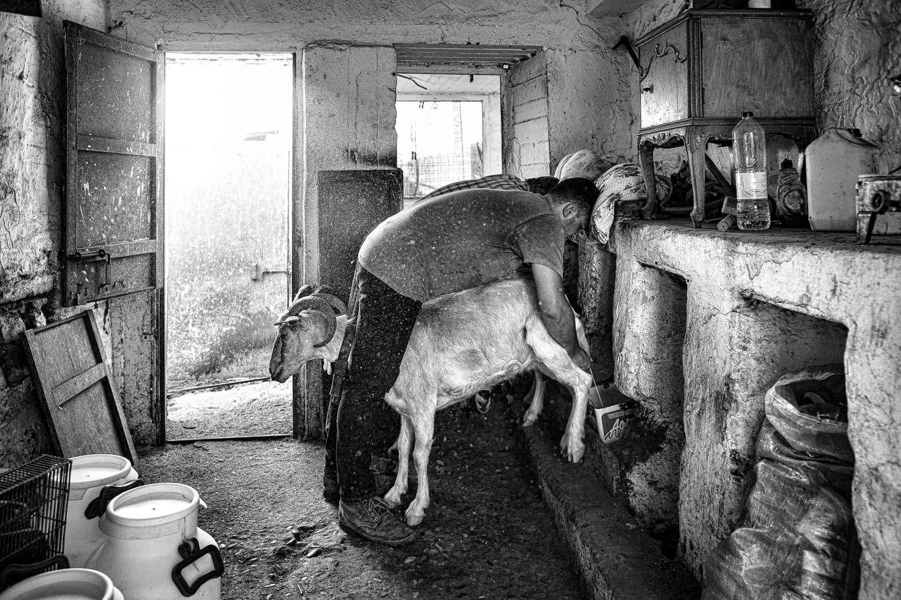 «Ελληνική Παραδοσιακή Ζωή». Πατέρας και γιος αρμέγουν κατσίκες ακολουθώντας την οικογενειακή παράδοση ενός αιώνα, στην Αστυπάλαια
