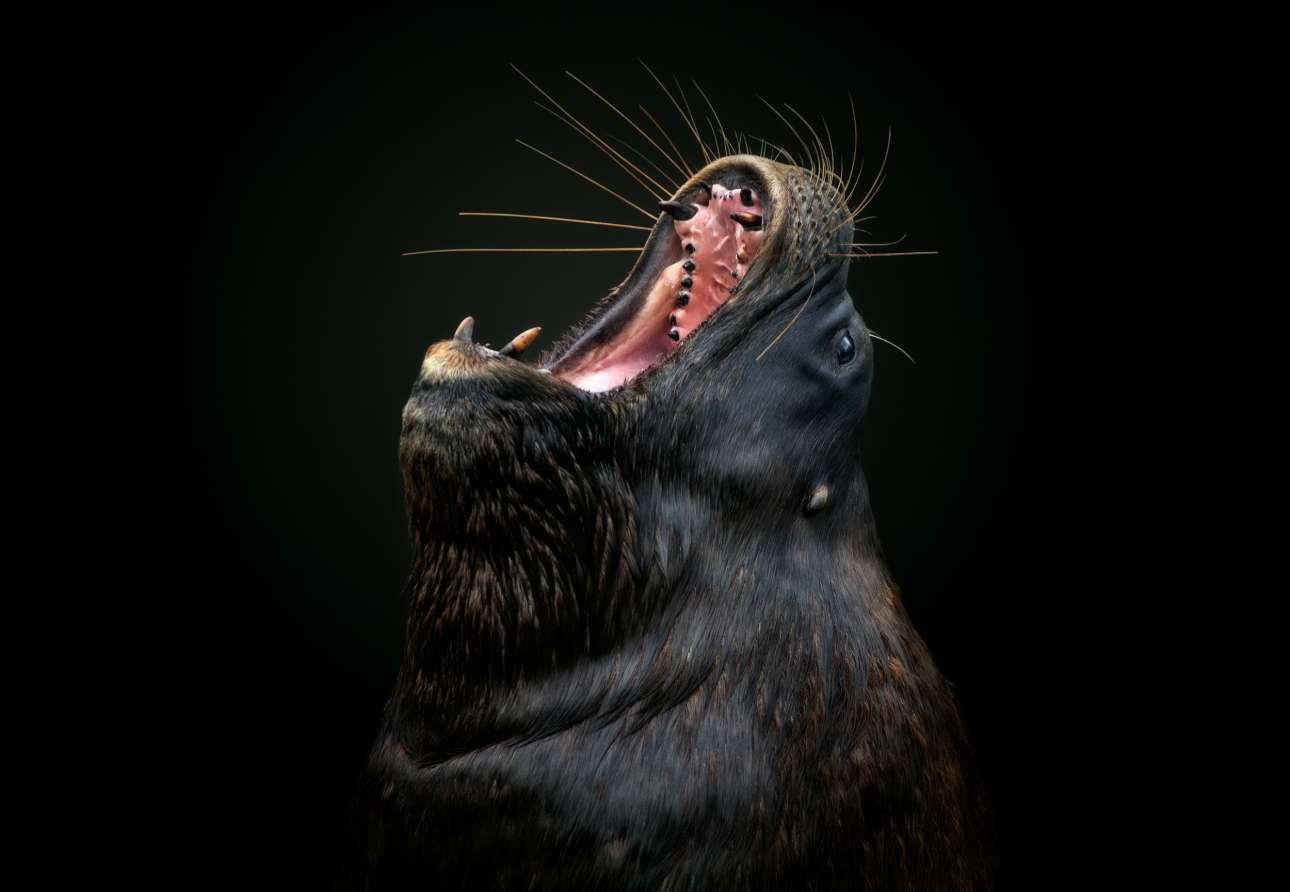 «Αγωνία και Εκσταση». Το φαρδύ, ορθάνοιχτο στόμα ενός θαλάσσιου λέοντα