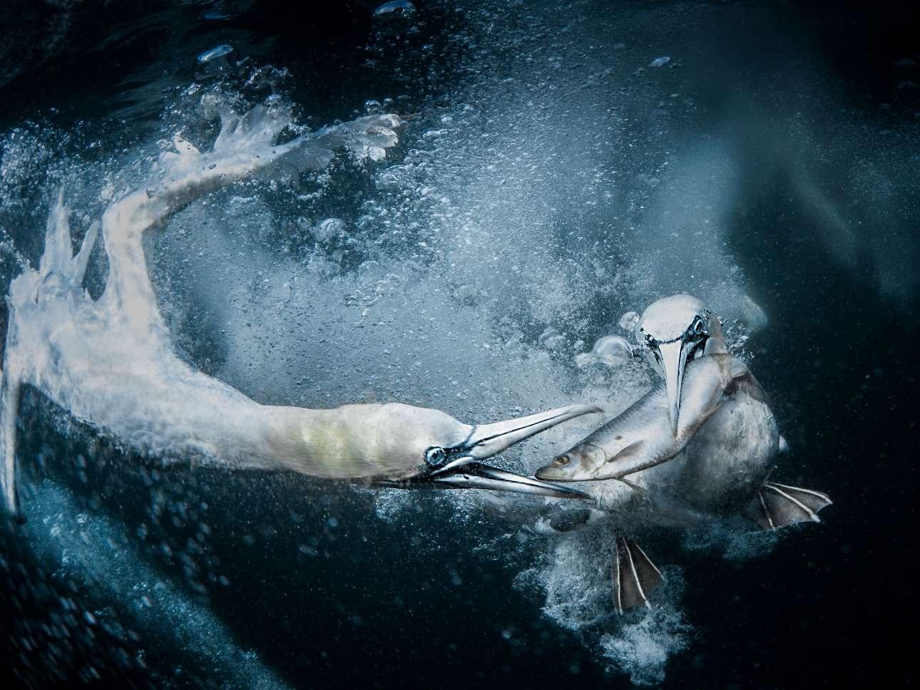 Πρώτη θέση στην κατηγορία Φυσικός Κόσμος και Αγρια Ζωή. Ονειρο της φωτογράφου ήταν να αποτυπώσει τι συμβαίνει κάτω από τη θάλασσα, και το κατάφερε στο αρχιπέλαγος Σέτλαντ της Σκωτίας, όπου κατέγραψε με τον φακό της τη στιγμή που θαλασσοπούλια επιτίθενται σε ένα ψάρι με σκοπό να το φάνε