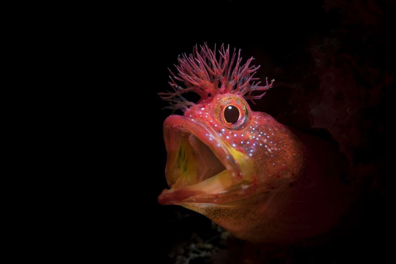 Τιμητική διάκριση στην κατηγορία Πορτρέτο. Το είδος ψαριού Chaenopsid Blenny συναντάται σε βραχώδεις υφάλους γύρω από την Ιαπωνία, στον βορειοδυτικό Ειρηνικό Ωκεανό. Ξεχωρίζει για το απίθανο «μοϊκάνα» χτένισμά του που είναι συνήθως κόκκινο, κίτρινο ή μαύρο