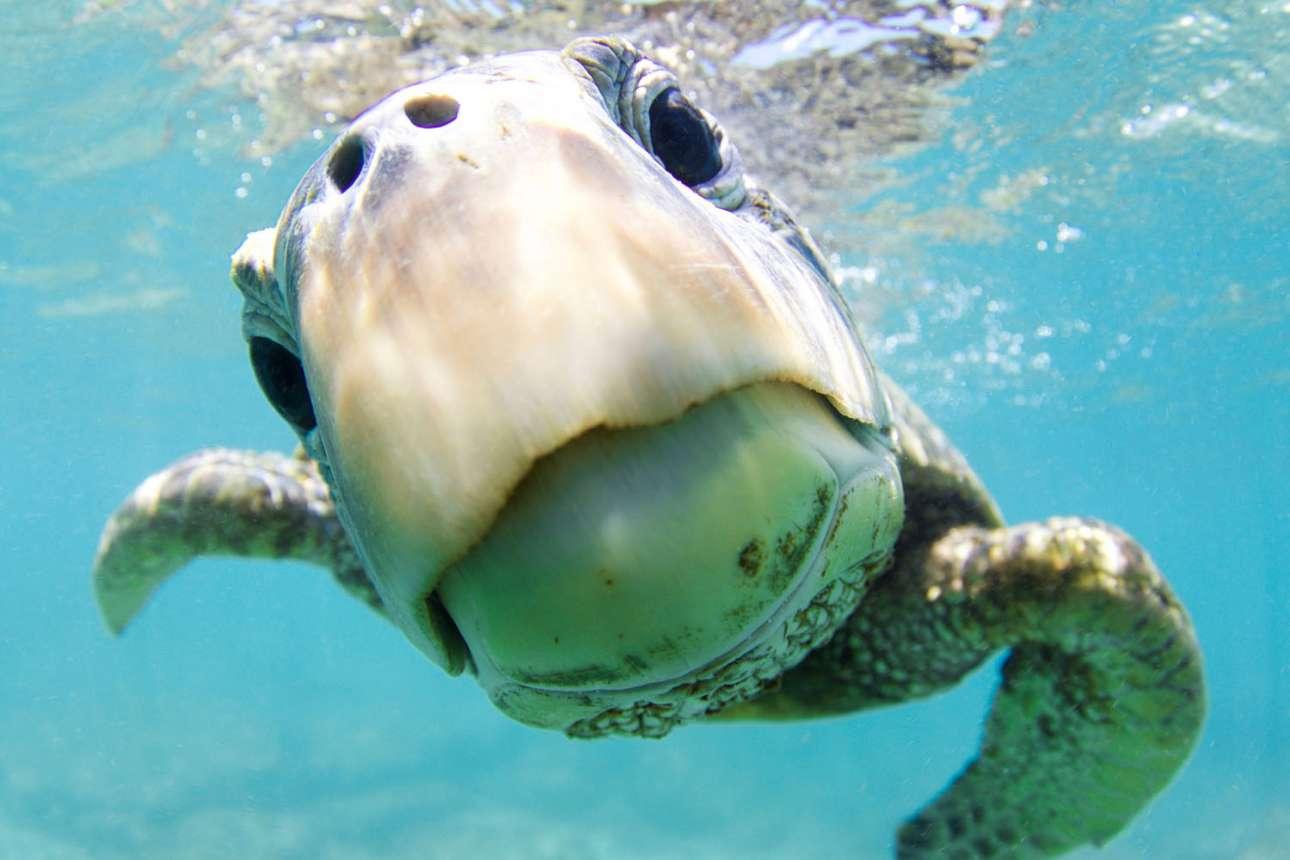 Τιμητική διάκριση στην κατηγορία Πορτέτο. Μία πράσινη θαλάσσια χελώνα κοιτάζει με περιέργεια τον φακό, στα γαλάζια νερά της Χαβάης