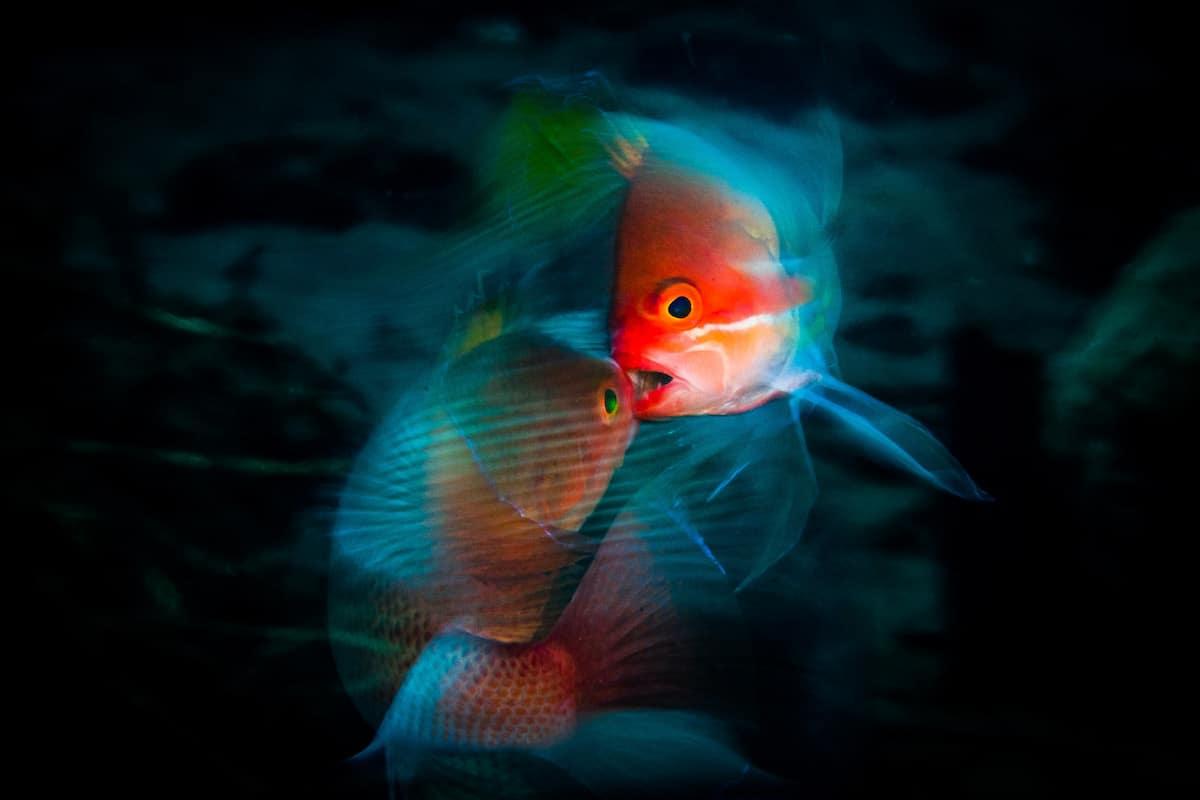 Δεύτερη θέση στην κατηγορία Θαλάσσια Ζωή. «Καβγάς» ο τίτλος της φωτογραφίας που απεικονίζει δύο πολύχρωμα ψάρια να μαλώνουν στο Μπαλί