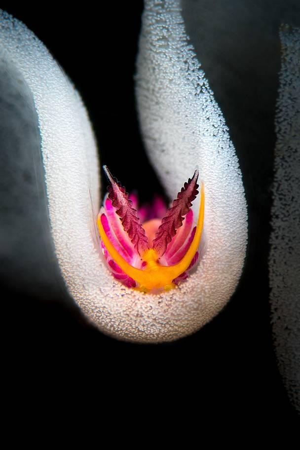 Πρώτη θέση στην κατηγορία «Γυμνοβράγχια». Το γυμνοβράγχιο Favorinus pacificus περιτριγυρισμένο από τα αυγά του. Τα εντυπωσιακά αυτά πλάσματα αποκαλούνται δικαίως «στολίδια της θάλασσας», λόγω των χρωμάτων και σχημάτων τους