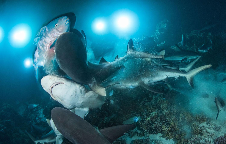 Η Μάχη: Νικητής στην κατηγορία «συμπεριφορά», φωτογράφος της χρονιάς, 2019. «Καθώς έπεφτε το σκοτάδι στα Στενά Φακαράβα, στη Γαλλική Πολυνησία, οι 700 καρχαρίες ξεκίνησαν το κυνήγι τους, έτοιμοι για μάχη. Καθώς κάλυπταν όλο τον βυθό, η καρδιά μου χτυπούσε πιο γρήγορα. Παρά την προσπάθειά του να κρυφτεί στα κοράλια, ο άτυχος σκάρος δεν γλύτωσε από τα δόντια του καρχαρία».
