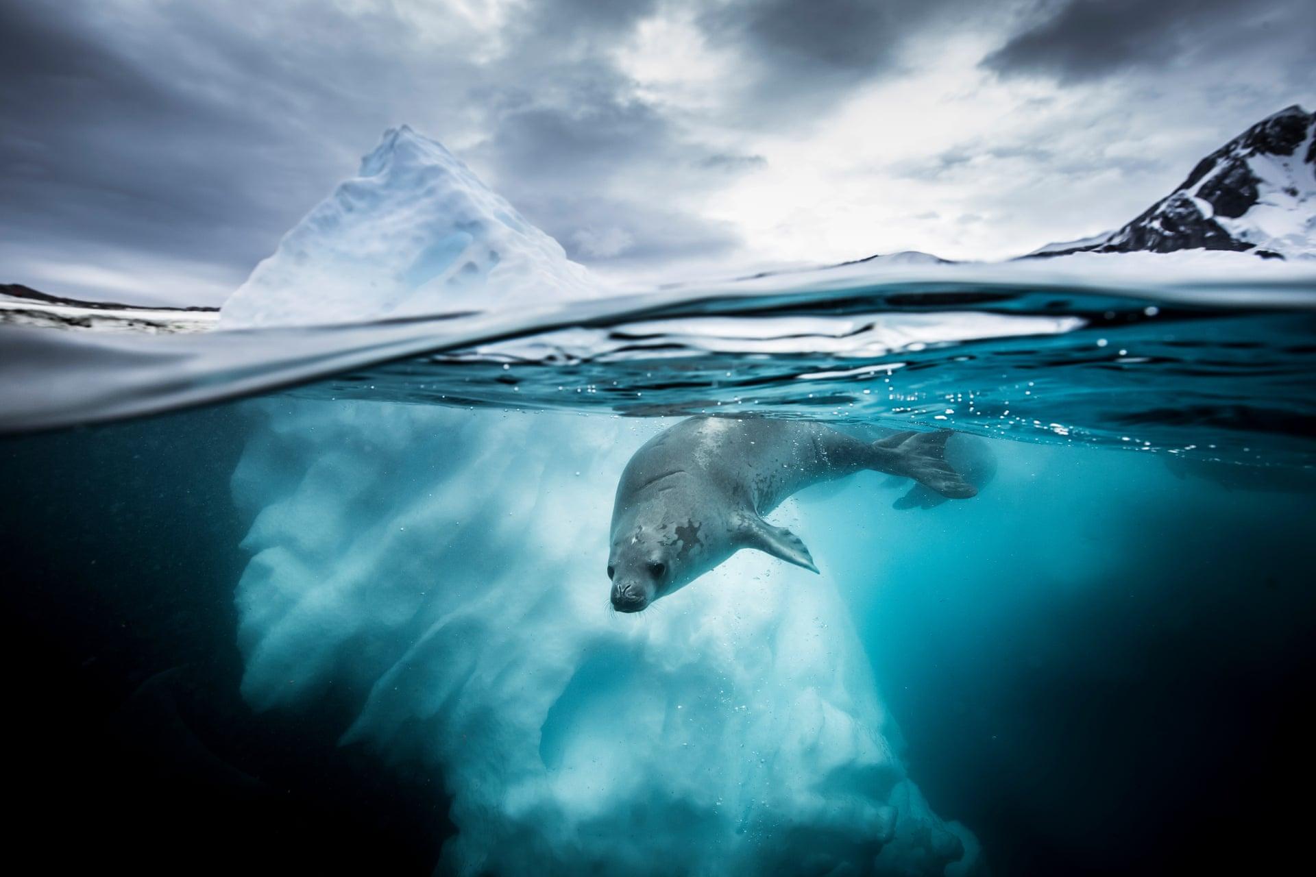 Η περιέργεια της φώκιας: Δεύτερο βραβείο στην κατηγορία «Ευρυγώνιος φακός». «Ως βιολόγος στην Ανταρκτική, παρατηρώ τις φώκιες από το 2009. Μία μέρα με έναν υπέροχο ουρανό, οκτώ φώκιες πέρασαν μία ώρα βουτώντας και παίζοντας δίπλα μας. Ηταν από τις πιο αξέχαστες εμπειρίες μου με αυτά τα πλάσματα».