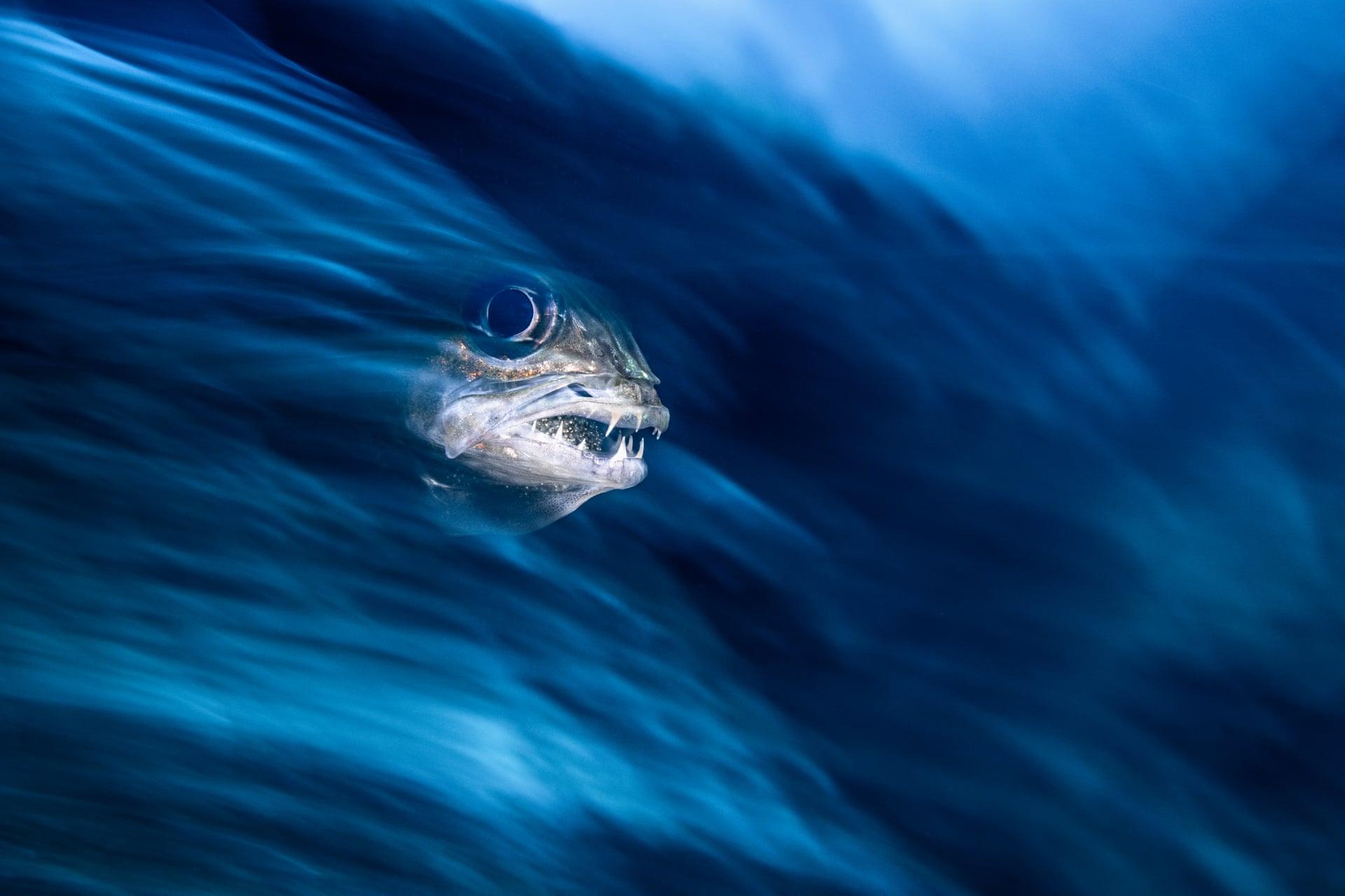 Τιγρίσιο κύμα: Τρίτο βραβείο στην κατηγορία «Κοντινή απόσταση». «Φωτογράφισα σε ένα μπλε κύμα, το πρόσωπο ενός καρδιναλίου-τίγρη, που επωάζει τα αυγά του μέσα στο στόμα του. Βούτηξα τρεις φορές κοντά σε αυτό το ψάρι μέχρι να κερδίσω την εμπιστοσύνη του, ώστε να μου επιτρέψει να το φωτογραφίσω από τόσο κοντινή απόσταση».