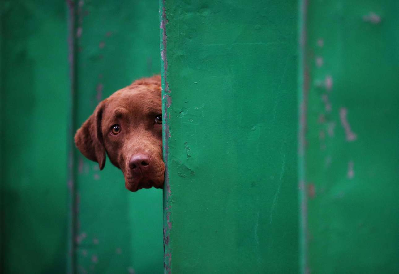 Μέσα από το πάγκο του, ένας σκύλος Τσέζαπικ Μπέι Ριτρίβερ κοιτάζει τρομαγμένος τις επιδόσεις των αντιπάλων του...