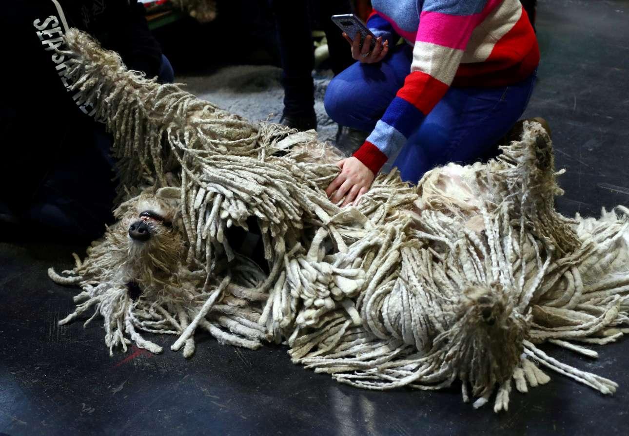 Χαλάρωση και φωτογράφιση... Σκύλος ράτσας Κόμοντορ, με το χαρακτηριστικό τρίχωμα απολαμβάνει τα χάδια και την προσοχή του αφεντικού του