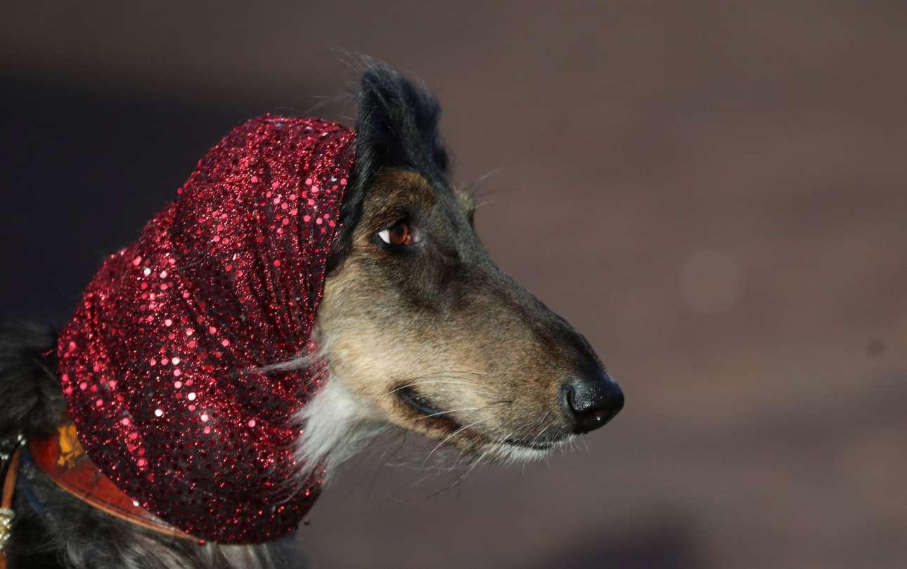Φορώντας τσεμπέρι με παγιέτες και θυμίζοντας σταρ, ένα Αφγανικό Λαγωνικό καταφθάνει στο εκθεσιακό κέντρο NEC του Μπέρμινχαμ, την τρίτη ημέρα του διαγωνισμού