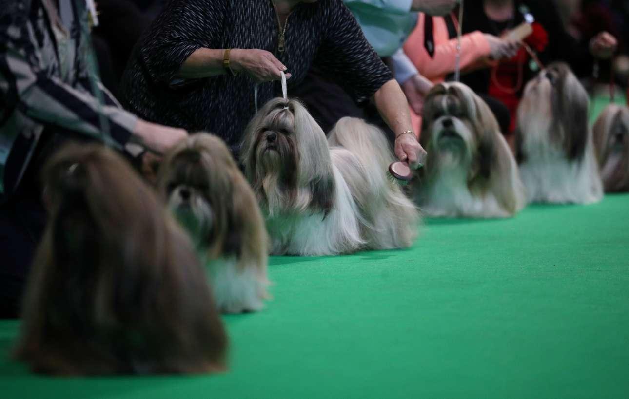 Σκύλοι ράτσας Σι Τζου ετοιμάζονται να αντιμετωπίσουν τους κριτές