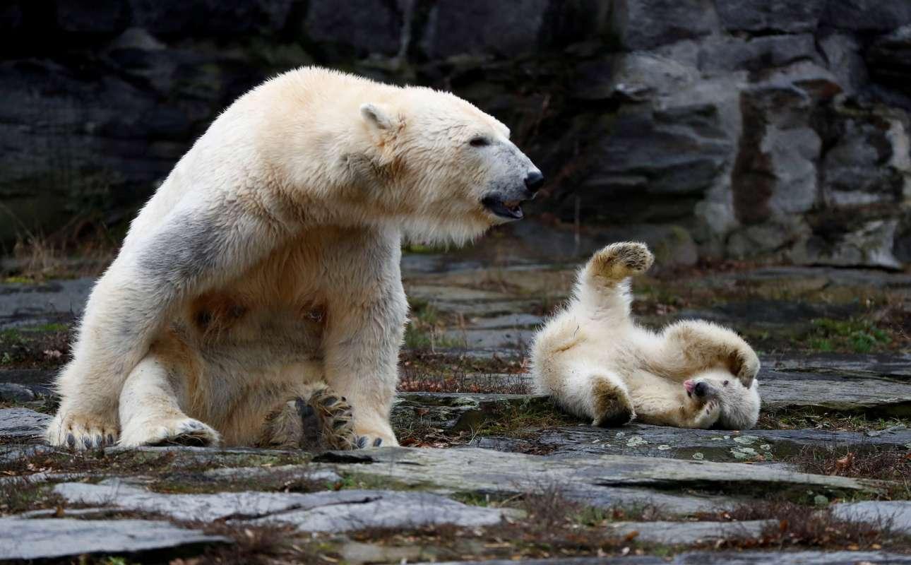 Παρασκευή, 15 Μαρτίου, Γερμανία. Το ηλικίας τεσσάρων μηνών αρκουδάκι παίζει με τη μαμά του, την εννεάχρονη Τόνια, κατά την επίσημη παρουσίασή τους στο κοινό του ζωολογικού κήπου του Βερολίνου