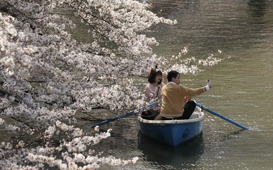 Τρίτη, 26 Μαρτίου, Ιαπωνία. Ζευγάρι κάνει βαρκάδα απολαμβάνοντας τις ανθισμένες κερασιές στο πάρκο Chidorigafuchi Moat, στο Τόκιο