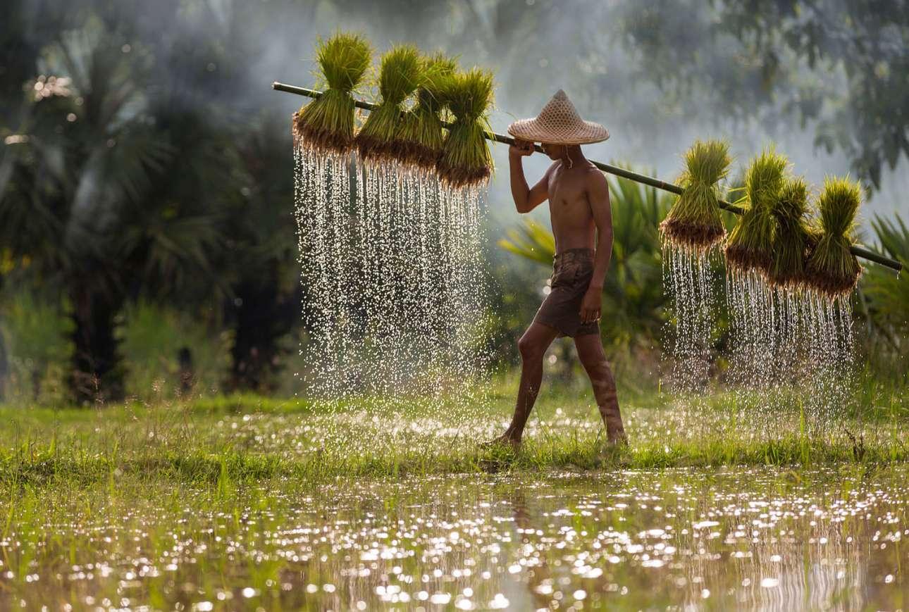«Μία μέρα στο χωράφι», κατηγορία Ταξίδι. Νεαρός αγρότης κουβαλάει βλαστάρια ρυζιού σε έναν ορυζώνα στη Ταϊλάνδη