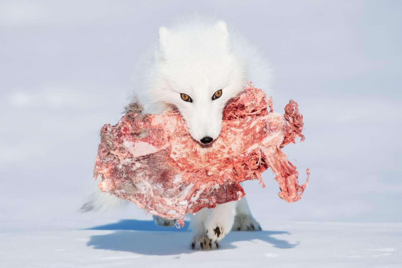 «Πεινασμένη Αλεπού», κατηγορία Φυσικός Κόσμος. Αρκτική αλεπού με ένα μεγάλο κομμάτι ταράνδου στο στόμα περπατάει πάνω από μία παγωμένη λίμνη, στο Εθνικό Πάρκο Wapusk του Καναδά. Οπως αργότερα εξήγησε ο ξεναγός στη φωτογράφο, το συγκεκριμένο είδος αλεπούς τρέφεται από τα απομεινάρια των θηραμάτων των λύκων